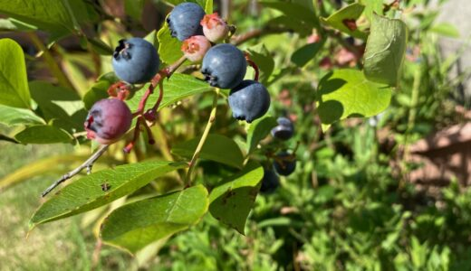 「ブルーベリー収穫」